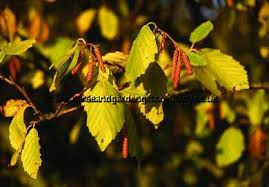 Golden Alder