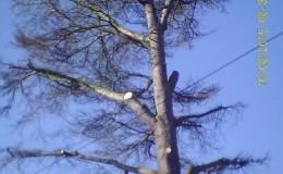 3 Bucklesham Road Cedar Honey Fungus – mid am SUNP0009