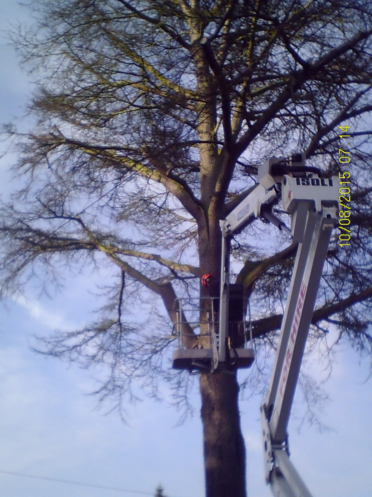 Tree Surgeon. Cedar with Honey Fungus