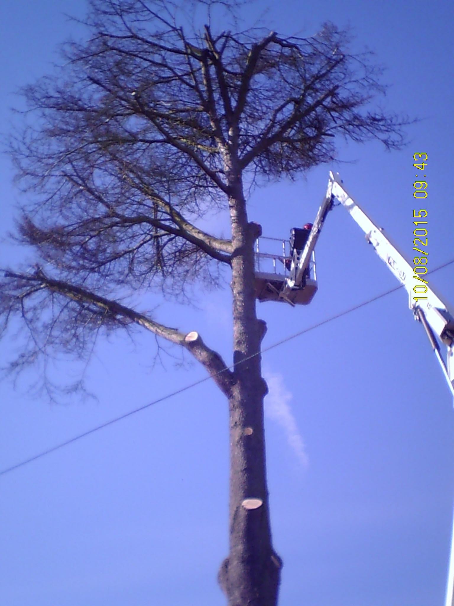 Tree Surgeons, Cedar Honey Fungus Infected tree