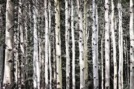 Silver birch tree trunks