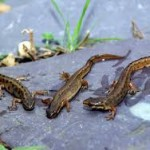 three newts in a pond