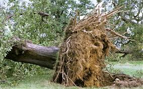 uprooted tree and stump