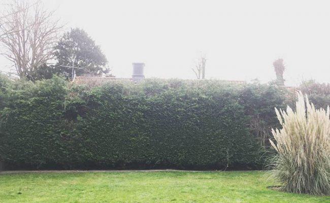 Easton, Conifer Hedge, after