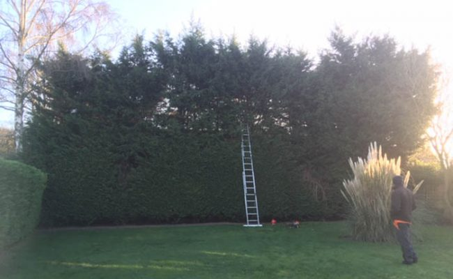 Easton, Conifer Hedge, before
