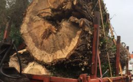 Sims-Bramford-Timber-Trailer with large tree