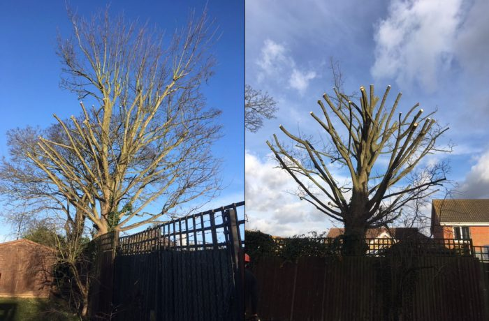 Tree Surgery services in Kesgrave near Ipswich, work on two Sycamore Trees