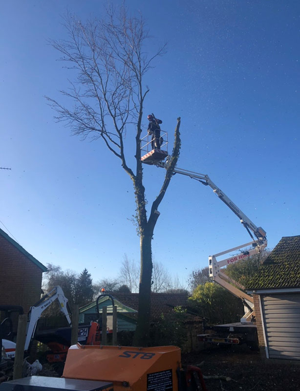 Tree-Surgeon-Dedham-Beech