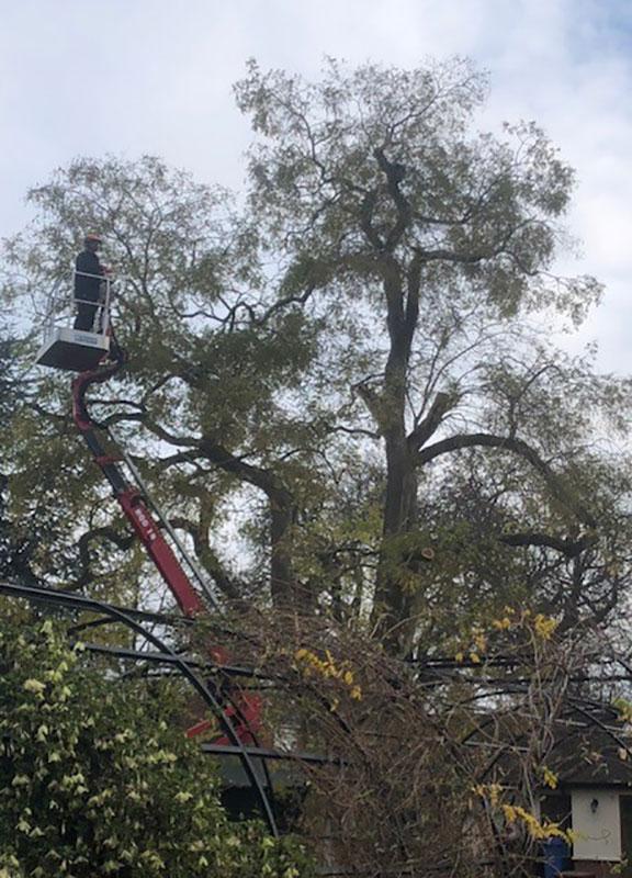 Tree-Surgeons—Acacia-Henley-Road,-Ipswich