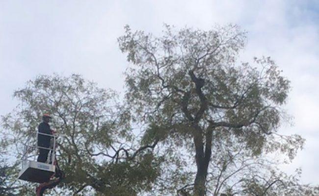 Tree-Surgeons—Acacia-Henley-Road,-Ipswich2