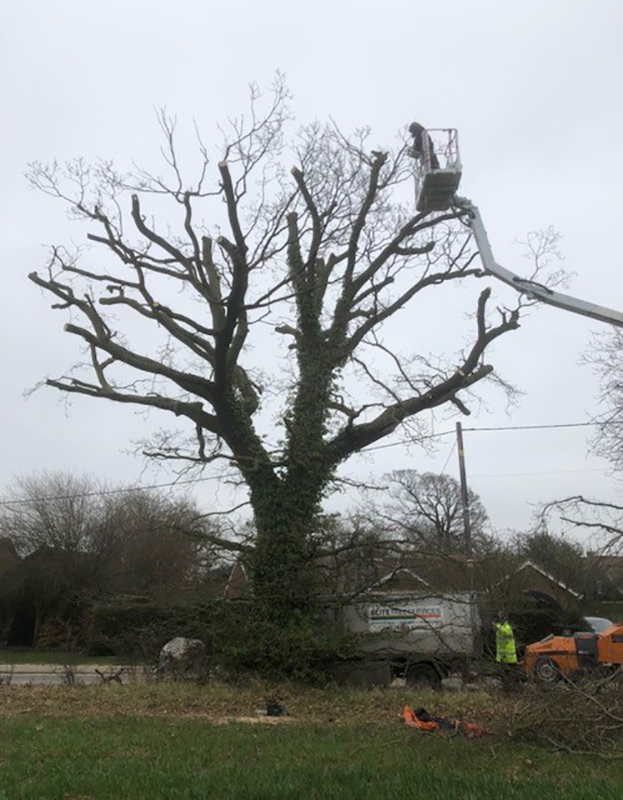 Kirton, Oak Tree Reduction 2