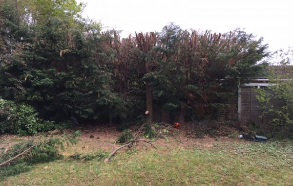 Tree dismantling services in Ipswich, dismantling of Conifer trees