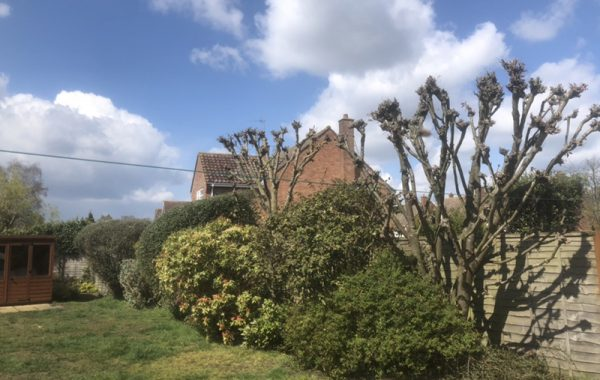 Tree Trimming services in Ipswich, trimming of small trees and hedges