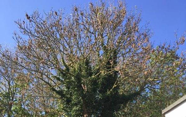 Tree Surgery services in Ipswich, dismantling of an Ash tree