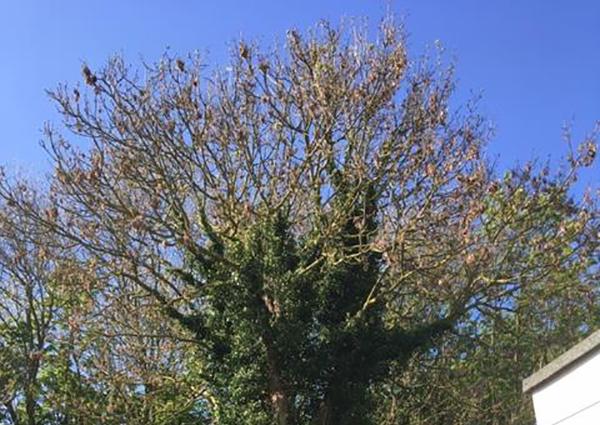 Ipswich Ash Dismantle Before landscape