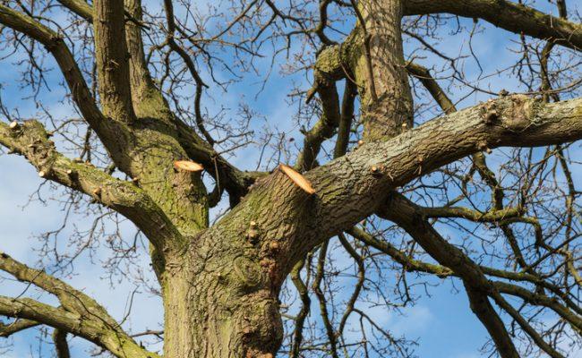 Tree surgery on a large oak