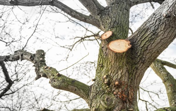 Dismantling of a large unruly and decayed Oak Tree in Felixstowe