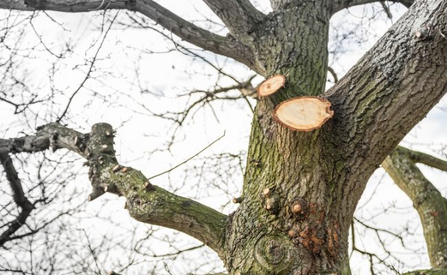 Tree surgery on a large oak.