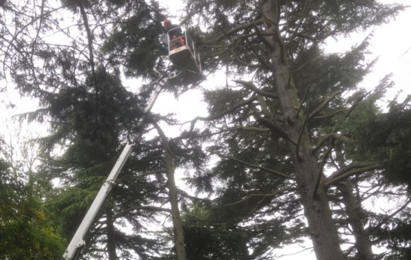 Tree Surgery services in Sproughton near Ipswich, dismantling of a pine tree