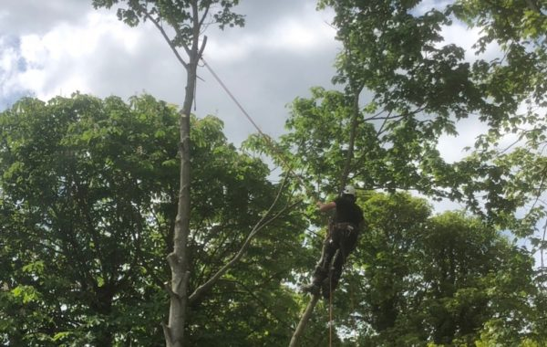 Tree surgery services in Ipswich, dismantling of a Maple tree
