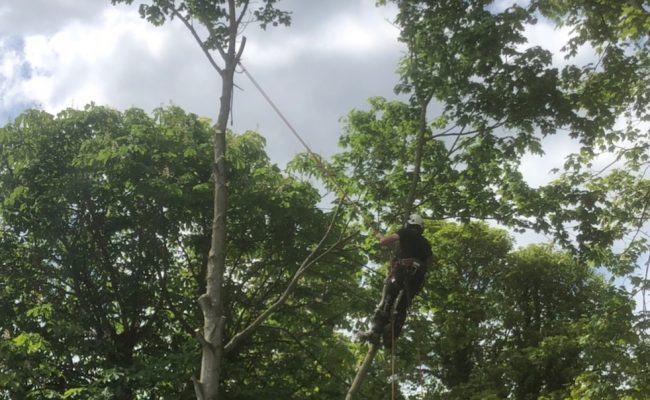 Woodbridge, Maple Dismantle 3