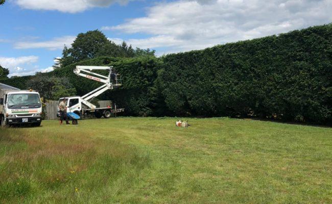 Woodbridge Conifer Hedge