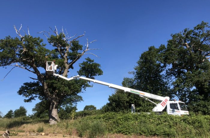 Tree Surgery work in Ipswich, crown reduction on a large Oak tree