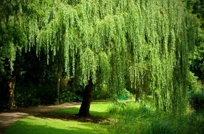 Tree Surgeons work in Felixstowe, diseased Willow tree removal