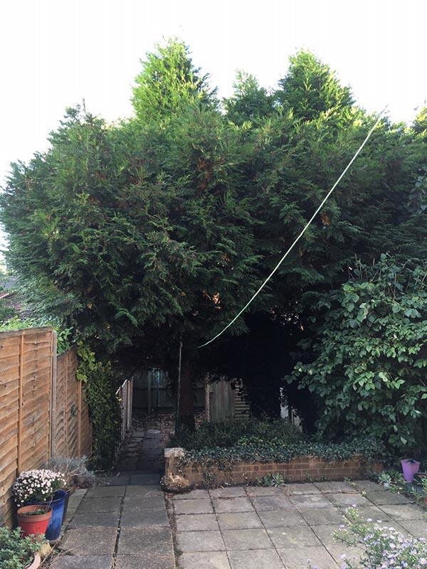 Ipswich Conifers Before
