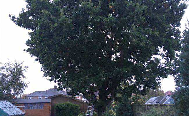 Oak Before