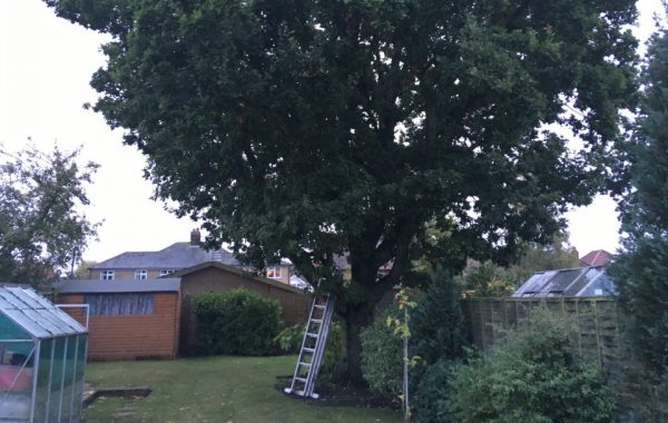 A familiar and rather intrusive tree in Ipswich requires removal