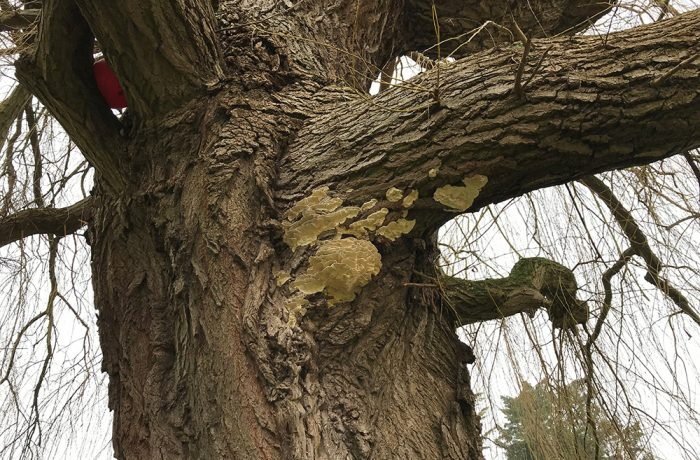 A wise old Willow had become infected with 'Chicken of the Woods' fungus