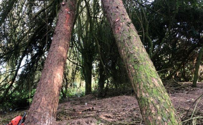 Framlingham Cedars 1