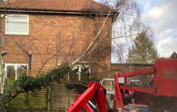 Ipswich Birch tree removal due to it failing in high winds