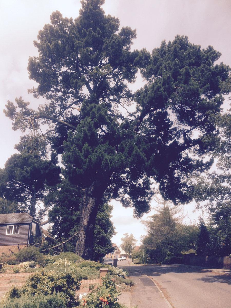 1-Saxon-Way-Pine-tree-at-IP12-1LG-3