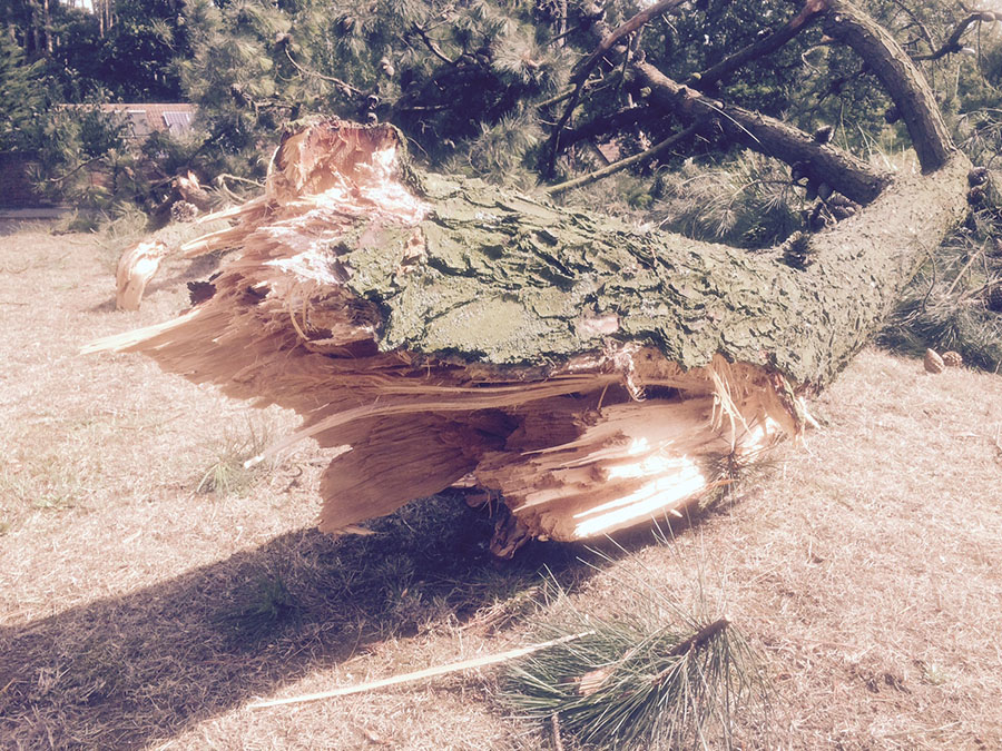 2-Saxon-Way-broken-limb-Pine-tree-at-IP12-1LG-4