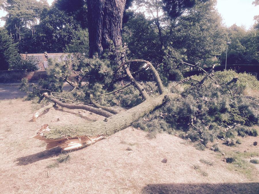 3-Saxon-Way-Broken-limb-2-Pine-tree-at-IP12-1LG-5